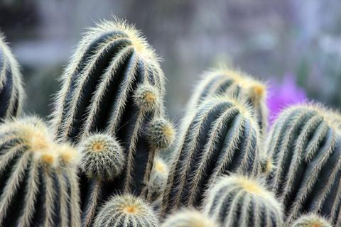 Кактусы из оранжереи в ботаническом саду Линца