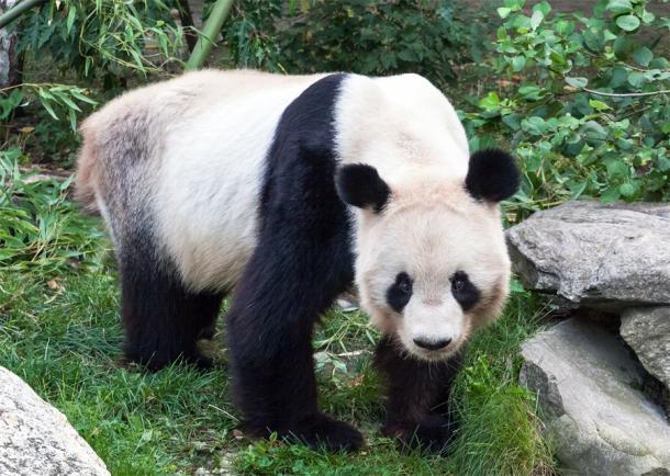 Панда в Венском зоопарке