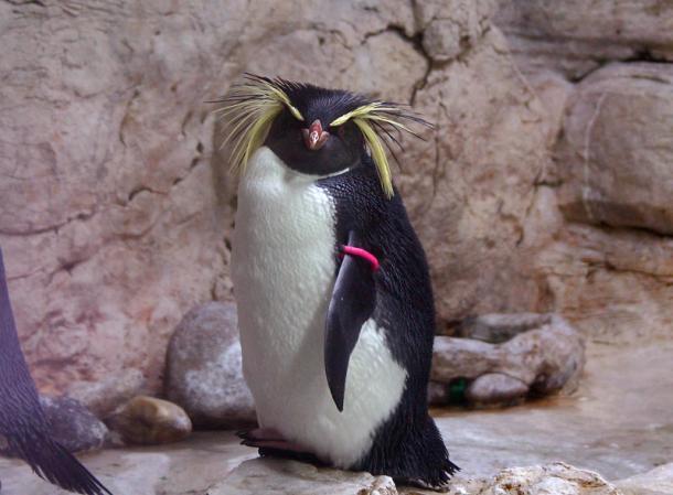 Златовласый пингвин из Венского зоопарка