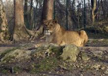 Львы в зальцбургском зоопарке